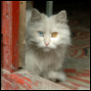 2 color eyed cat