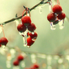 seasons : icicles and red berries.
