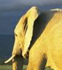 elephant looking back