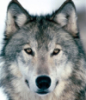 dwolfsangel userpic