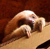 sloth in box