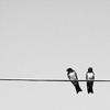 [ animal ] birds on telephone wire