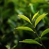 Tea plant leaves
