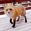 a wind-carried wing: Inquisitive fox