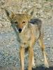 El Coyote Gordo: Joshua
