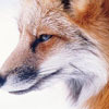 Vanilla  ... Spiked with Slivovitz: Dubious fox eyes you skeptically