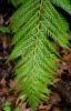 woodwardia userpic