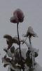 Rose, Ice