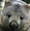 wombat4