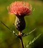 thistle autumn