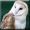 Spicedogs: Owl