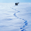 Animals--Polar bear tracks