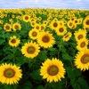 Eltea: Sunflowers