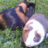 Jack and Alfred Piggies