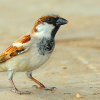 House Sparrow King