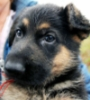Biden puppy