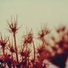 pipbongbb: Dandelions