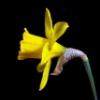 1001_daffodils userpic