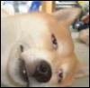 akita tired