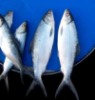 Рыбоптица