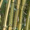 iz_bambuka userpic