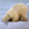 Полярный медведостраус