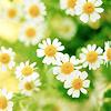 botanical: chamomile