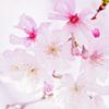 Stock - Sakura