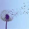 Days gone by dandelion
