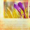 lliri_blanc: Flower