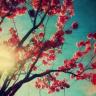 xlieblingx: cherry blossom