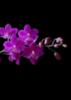 ashtroka: orchideja tamsoje