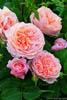 Ольга: розы