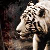 stock -- white tiger