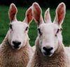 ears, sheep