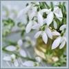 beloe cveti