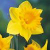 HawkMoth: daffodil