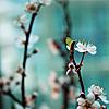 eli: cherry blossoms