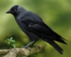 jackdaw in forest