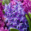 Cheezey: Hyacinth