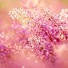 pinky purple heather