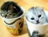 ~♥ Sugiyami Sakura ♥~::さクラ すぎヤ::~: kätzchen in tassen