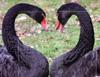 Emotion: Black Swan Heart