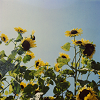 [stock] sunflowers