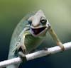critters: chameleon - goofy