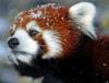 Зимняя красная панда