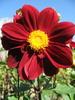 Касаточка: цветок