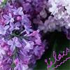 ajat: Lilacs.