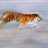 Animals---tiger running