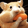 A Fine Furry Friend: animals: hungry hamster